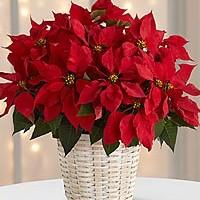 Poinsettia-large